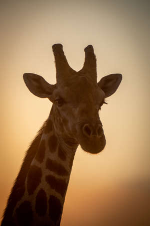 Close-up of southern giraffe head at dusk 免版税图像