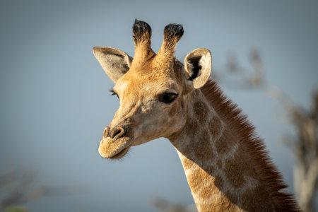 Close-up of southern giraffe head in sun 免版税图像