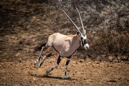 Gemsbok gallops over stony ground past bush 免版税图像