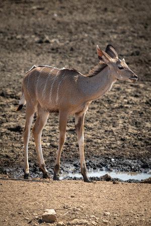 Female greater kudu stands by muddy waterhole