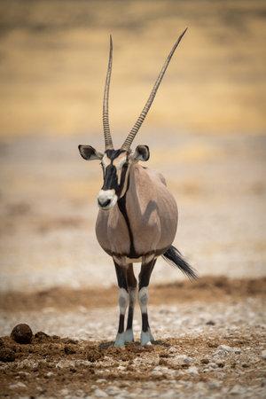 Gemsbok stands eyeing camera in salt pan