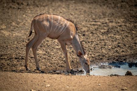 Female greater kudu drinks from muddy waterhole
