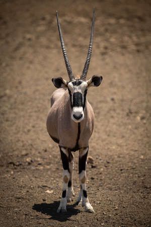 Gemsbok stands in profile on rocky ground