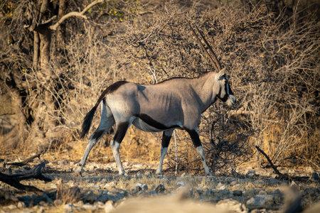 Gemsbok walks over rocks past dense bushes 免版税图像