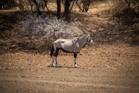 Gemsbok stands near trees in bright sunlight