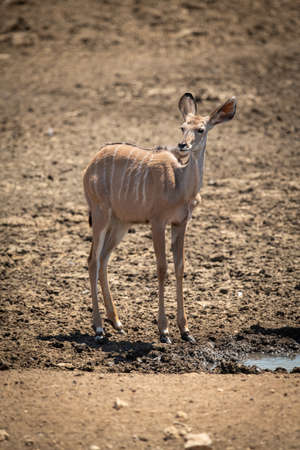 Female greater kudu standing by muddy waterhole