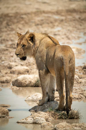Lion stands on stepping stones in waterhole Stock Photo
