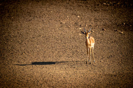 Male greater kudu stands beside salt block Banco de Imagens