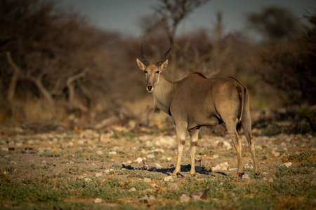 Male greater kudu stands on rocky slope