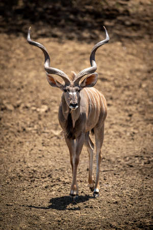 Male greater kudu stands by salt lick