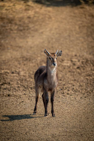 Young male common waterbuck standing on slope