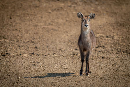 Young male common waterbuck stands casting shadow Banco de Imagens