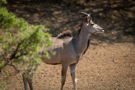 Young male greater kudu stands by tree