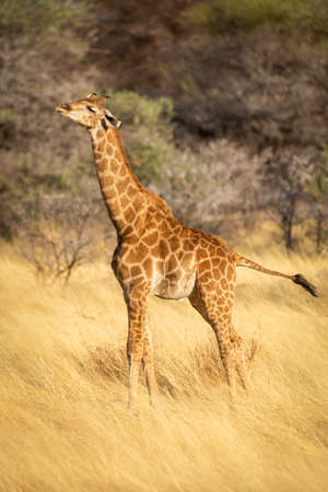 Young southern giraffe stands stretching in grassland