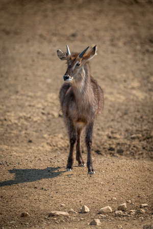 Young male common waterbuck stands eyeing camera