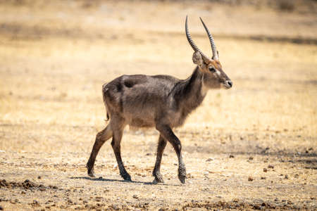 Young male common waterbuck crosses flat ground