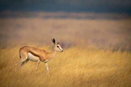 Young springbok walks through grass in plain Banco de Imagens