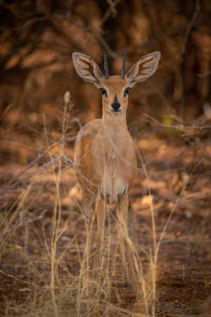 Young springbok stands in grass facing camera