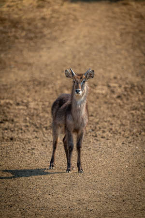 Young male common waterbuck standing on gravel Banco de Imagens