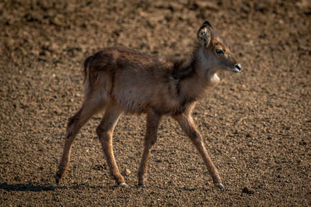 Young female common waterbuck crosses gravel pan