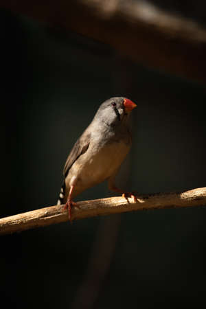 Zebra finch on branch with dark background