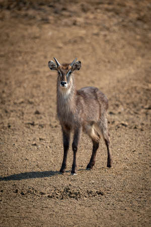 Young male common waterbuck stands on gravel