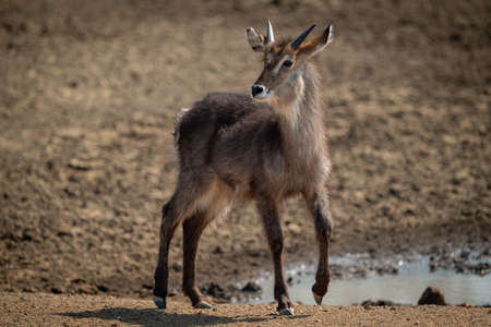 Young male common waterbuck walks past waterhole