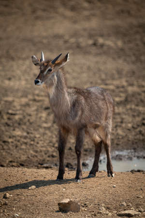 Young male common waterbuck standing watching camera Banco de Imagens
