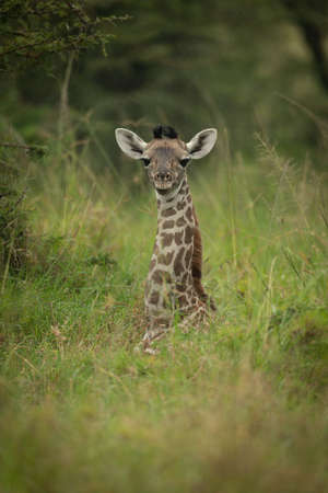 Baby Masai giraffe in grass eyeing camera Standard-Bild
