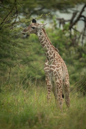 Close-up of baby Masai giraffe looking round