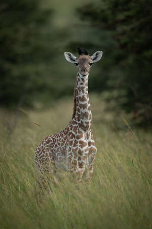 Baby Masai giraffe facing camera in grass