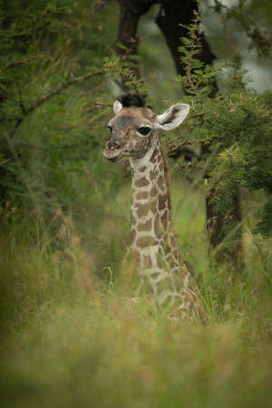 Close-up of baby Masai giraffe near trees