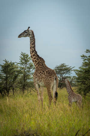 Masai giraffe stands by bushes in sunshine