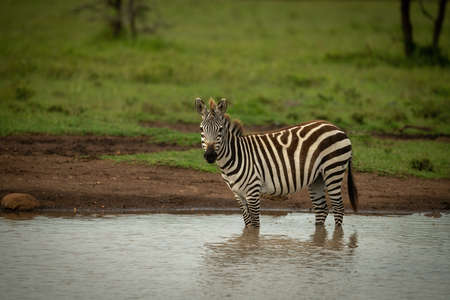 Plains zebra stands biting another in grass