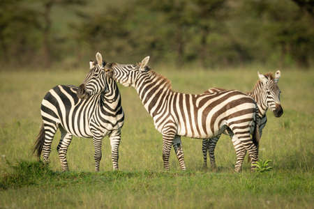 Two plains zebra play fighting in grass