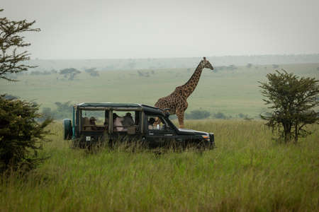 Masai giraffe walks past truck in grassland