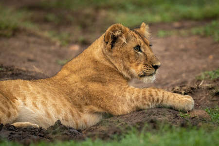 Close-up of lion cub lying in mud