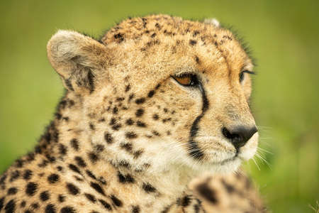 Close-up of lion cub lying staring ahead