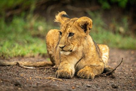 Close-up of lion cub lying licking nose Standard-Bild