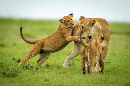 Cub stands on hind legs nibbling lioness