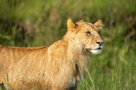 Cub standing on hind legs biting lioness Standard-Bild
