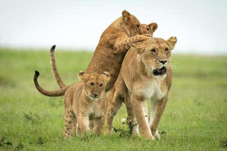 Cub running towards male lion in grass Standard-Bild
