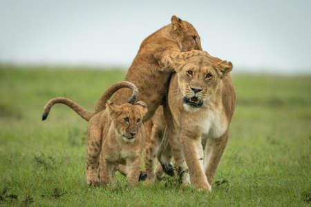 Cub tackles walking lioness and bites rump
