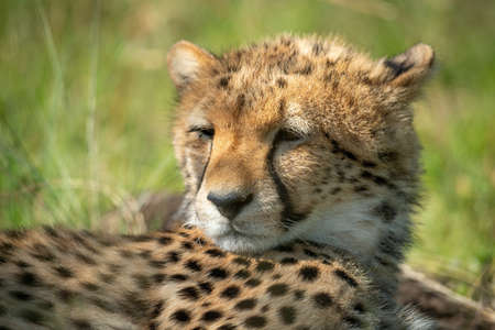 Cub stands by cheetah lying on grass