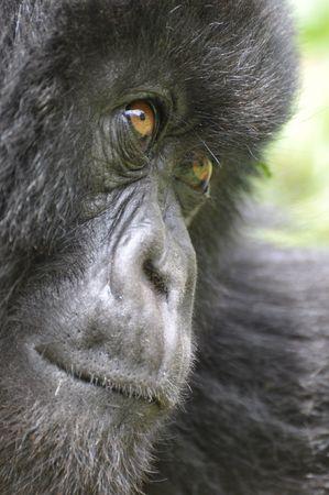 A critically endangered Mountain Gorilla (Gorilla beringei beringei) photographed in Volcanoes National Park in north-west Rwanda.