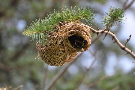 Nest of a Weaver Bird. South Africa. photo