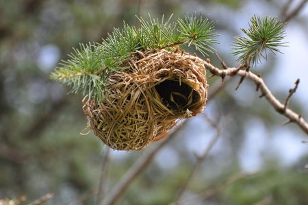 Nest of a Weaver Bird. South Africa. photo