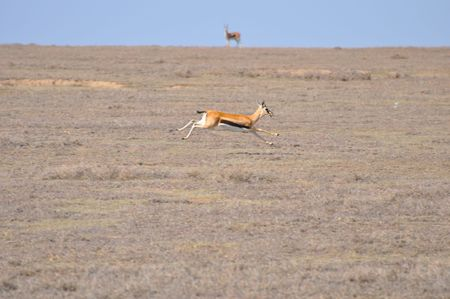 landform: A female Thomsons gazelle (Eudorcas thomsoni) - often referred to as a tommie -full strectched as it runs across the Serengeti Plain.  Second gazelle on the horizon viewing.