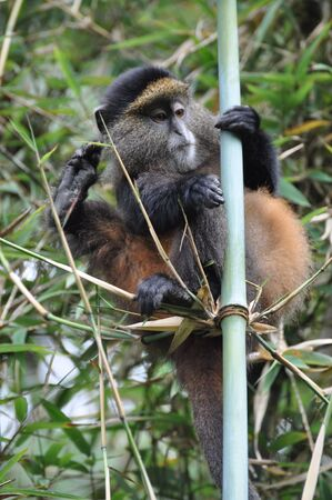 np: A Golden Monkey (Cercopithecus kandti) in the Volcanoes NP, in north-west Rwanda.