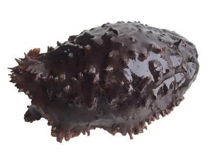 Cucumaria japonica, japanese cucumaria, sea cucumber isolated on white background
